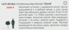 Лиственница 'Kornik'