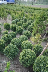 Buxus sempervirens boll 45 см