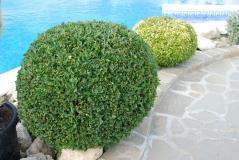 Самшит шар 65 см