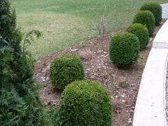 Шары самшита вечнозелёного около дома
