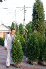 Туя Колумна выращенная в Украине