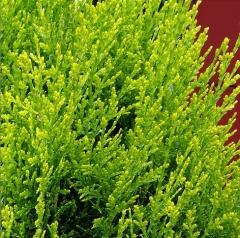 Platycladus orientalis Aurea Nana
