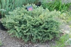 Picea Nidiformis