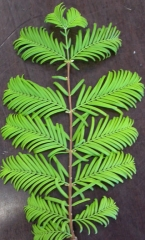 Метасеквойя глиптостробусовая (метасеквойя китайская) Metasequoia glyptostroboides