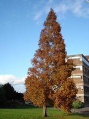 Метасеквойя осенью