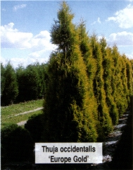 Туя западная Еуроп Голд <br>Туя західна Єуроп Голд <br>Thuja occidentalis Europe Gold