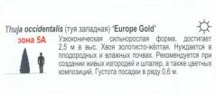 Туя желтая Європа Голд