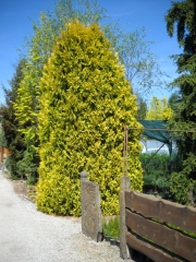 Thuja occidentalis Europa Gold