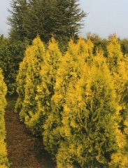 Thuja occidentalis Europe Gold