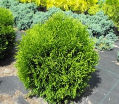 Thuja occidentalis 'Hoseri'