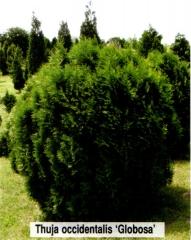 Туя западная 'Глобоза' <br>Thuja occidentalis 'Globosa'