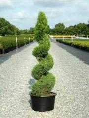 Juniperus средний Spartan