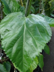 Шовковиця крупнолиста (тутовое дерево)