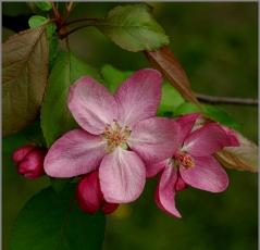 яблуня Ола