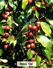яблуня Ola