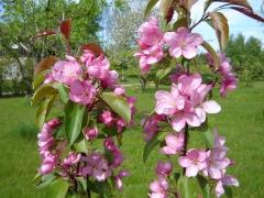 Яблуня декоративна Ола
