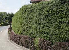 Picea abies живая изгородь