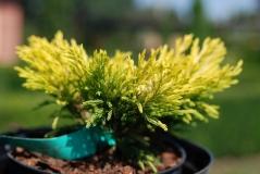Можжевельник горизонтальный Лайм Глоу / Juniperus horizontalis Lime Glow