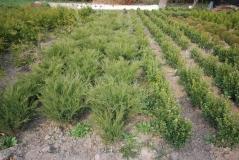Можжевельник 'Грей Оул' отличное растение для укрепления склонов.