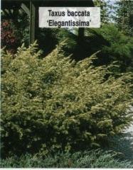 Тис ягодный Elegantissima