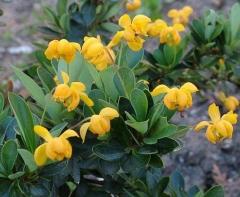 Барбарис cамшитолистный Nana цветы
