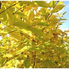 Граб обыкновенный Carpinus betulus осенью