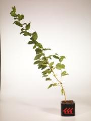 Граб обыкновенный  Carpinus betulus возраст 2 года