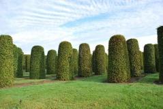 Граб обыкновенный колонны