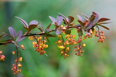 Berberis thunbergii 'Red Rocket'