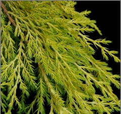 Juniperus media 'Golden Saucer'