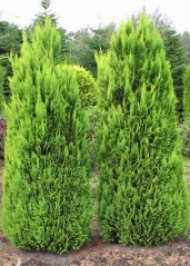 Кипарисовик Лавсона 'Алюмиголд'<br>Chamaecyparis lawsoniana 'Alumigold'
