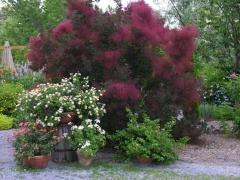 Cotinus coggygria 'Royal Purple' (Smoke tree)