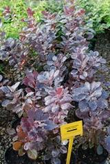 Cotinus cogg. Royal Purple
