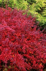 Berberis thunbergii 'D'arts Red Lady'