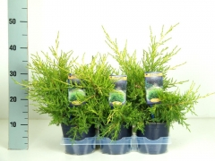 Juniperus pfitzeriana Kuriwao Gold
