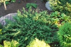 Можжевельник обыкновенный Репанда <br>Ялівець звичайний Репанда <br>Juniperus communis Repanda