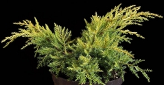 Juniperus media 'Gold Star'