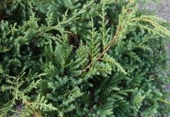 Juniperus Pfitzeriana Compacta