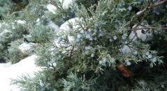 Ялівець середній Pfitzeriana Compacta зима