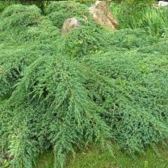 Juniperus х media Pfitzeriana Compacta