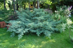 Juniperus virginiana 'Hetz'