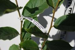 Магнолия Magnolia Rustica Rubra листья