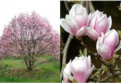 Магнолия суланжа 'Рустика Рубра' Magnolia soulangeana 'Rustica Rubra'