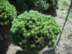 Сосна Пиренейская крючковатая