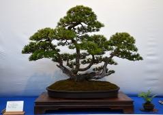 Сосна Пиренейская бонсай