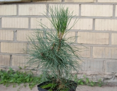 Pinus nigra / austriaca