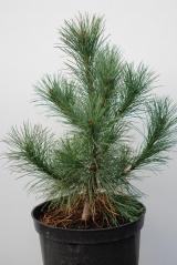 Сосна румелийская Pinus peuсe
