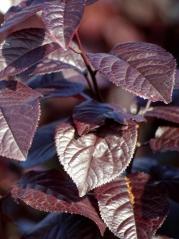 Prunus cerasifera Nigra листья