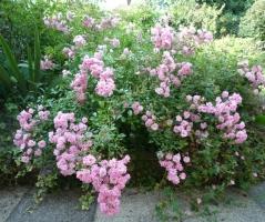 Роза полиантовая Фейри <br>Rosa polyantha The Fairy<br>Троянда поліантова Фейрі