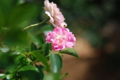Роза полиантовая Фейри 3 года